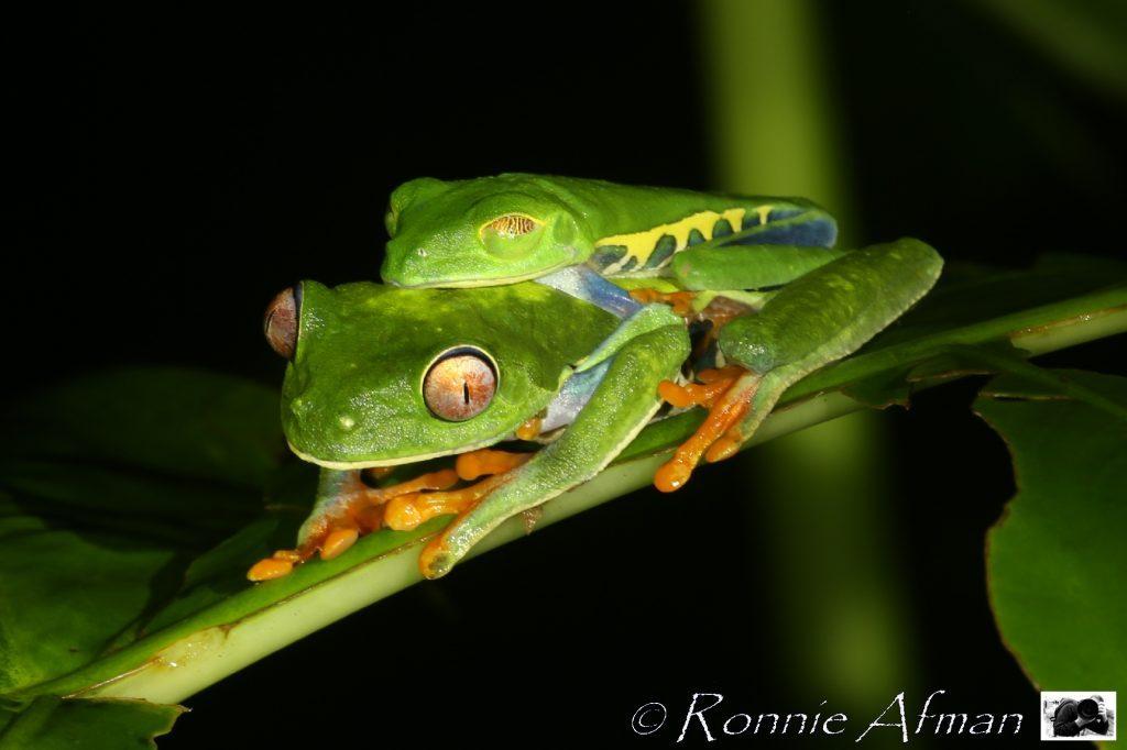 Deux rainettes aux yeux rouges en train de s'appareiller au Costa Rica